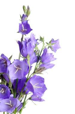 Beautiful blue flowers campanula