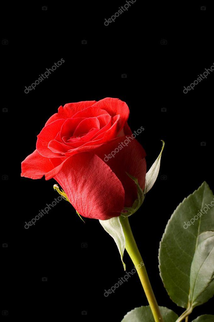 La Belle Rose Rouge Sur Fond Noir Photographie Voronin 76 C 7153991