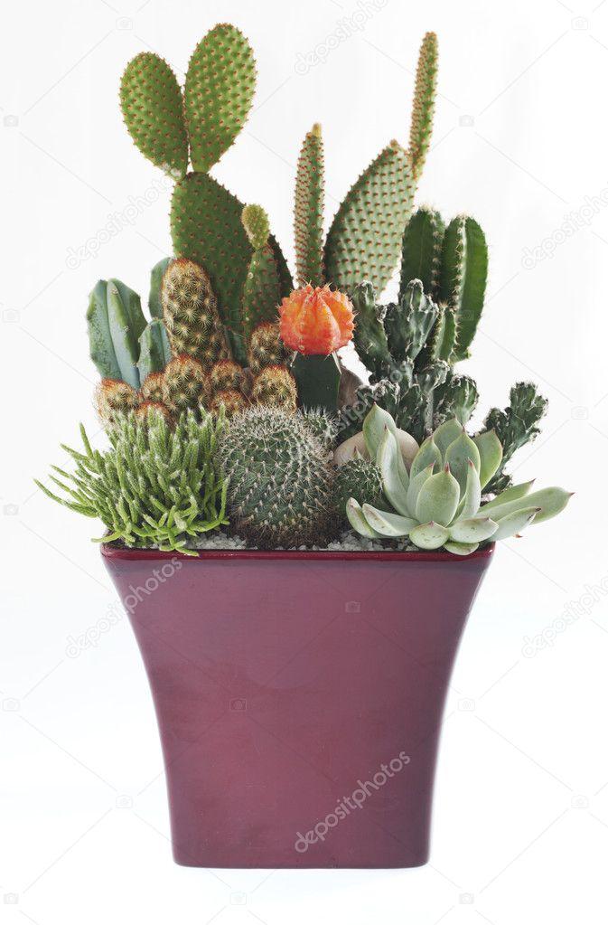 Cactus Pot Plants