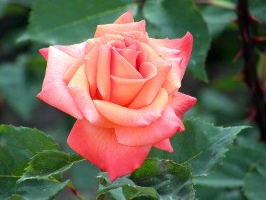 Beautiful rose stock vector