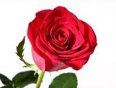 Fényképek piros rózsa, fehér