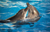 a delfinek tánc pár