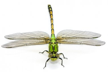 Ophiogomphus cecilia. Green Snaketail dragonfly on a white backg