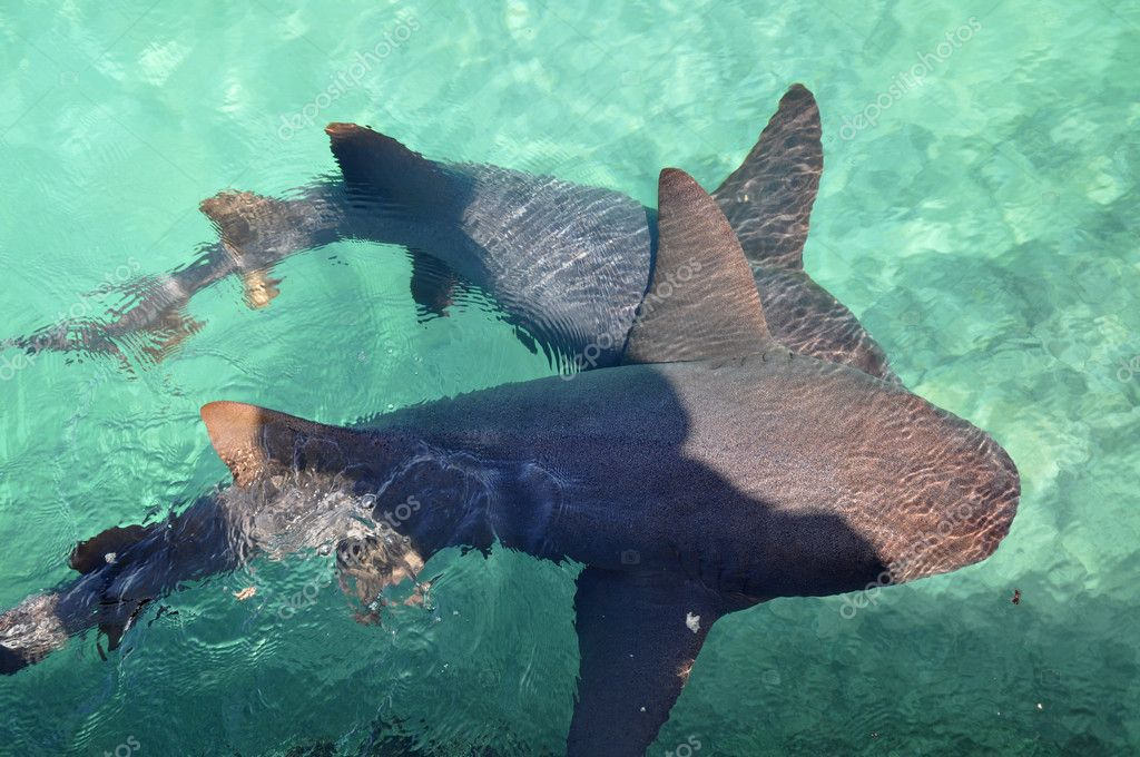 Nurse Shark swimming in caribbean sea