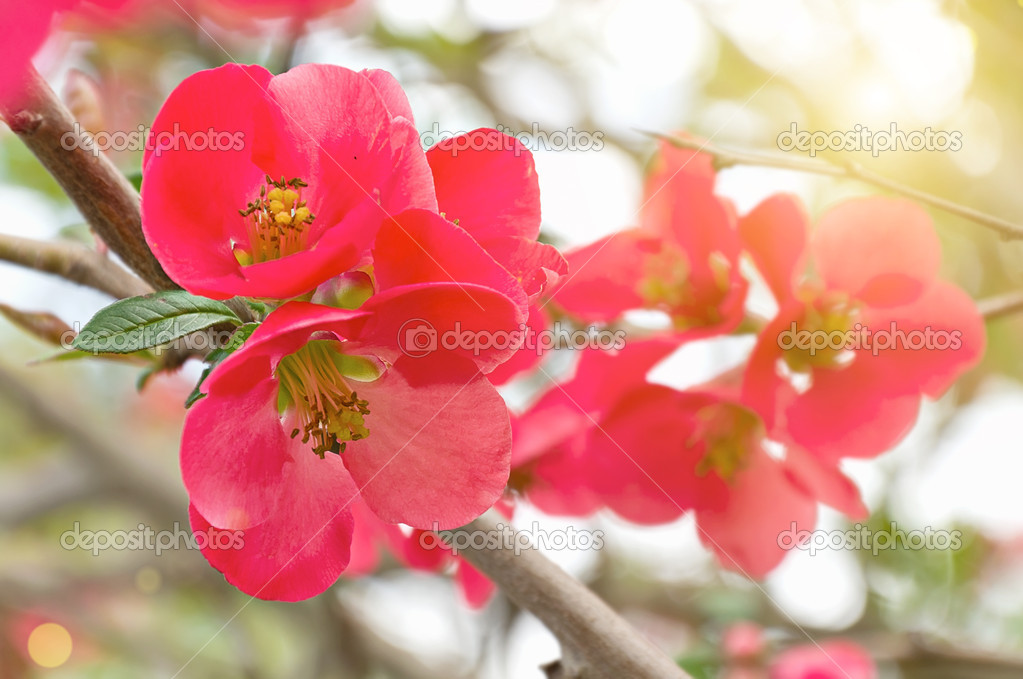 Fruit Tree Flowers Part - 31: Red And Pink Fruit-tree Flowers U2014 Photo By Svitlana10