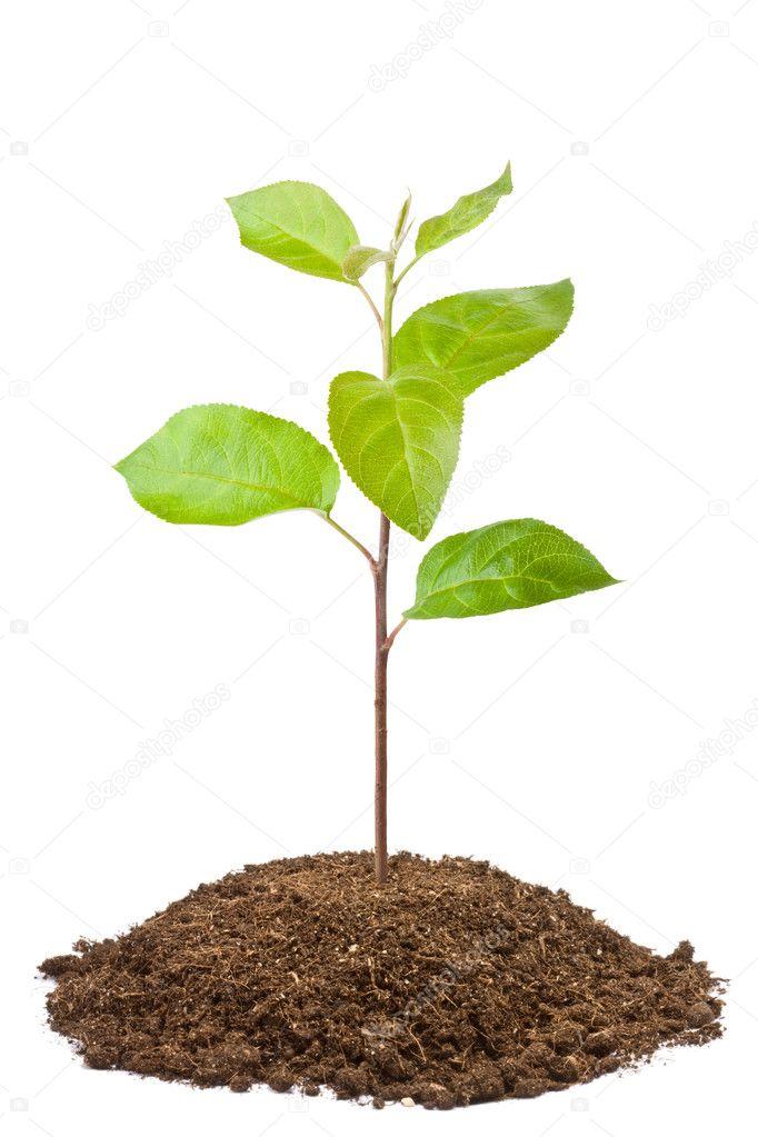 Green sapling of apple tree