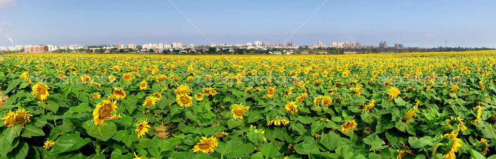 Rural field with sunflowers.