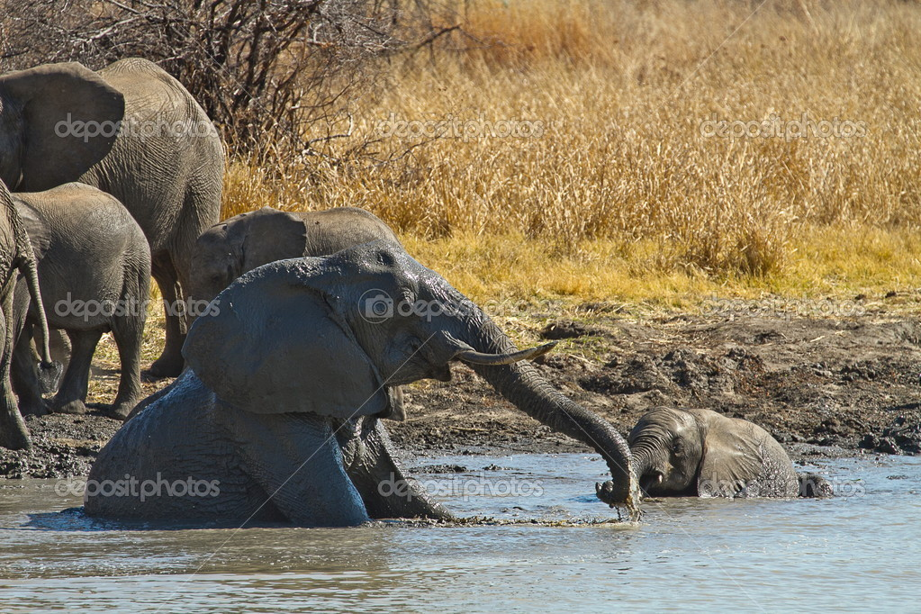 Elephant calfs playing at the waterhole