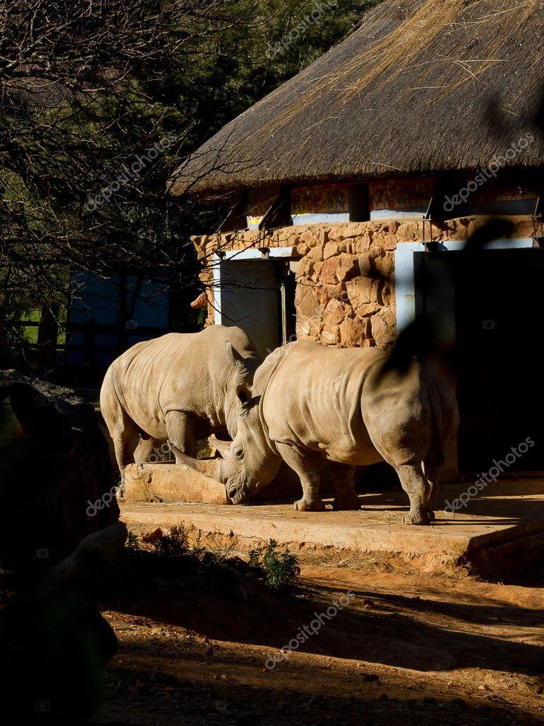 Rhino Pair in captivity