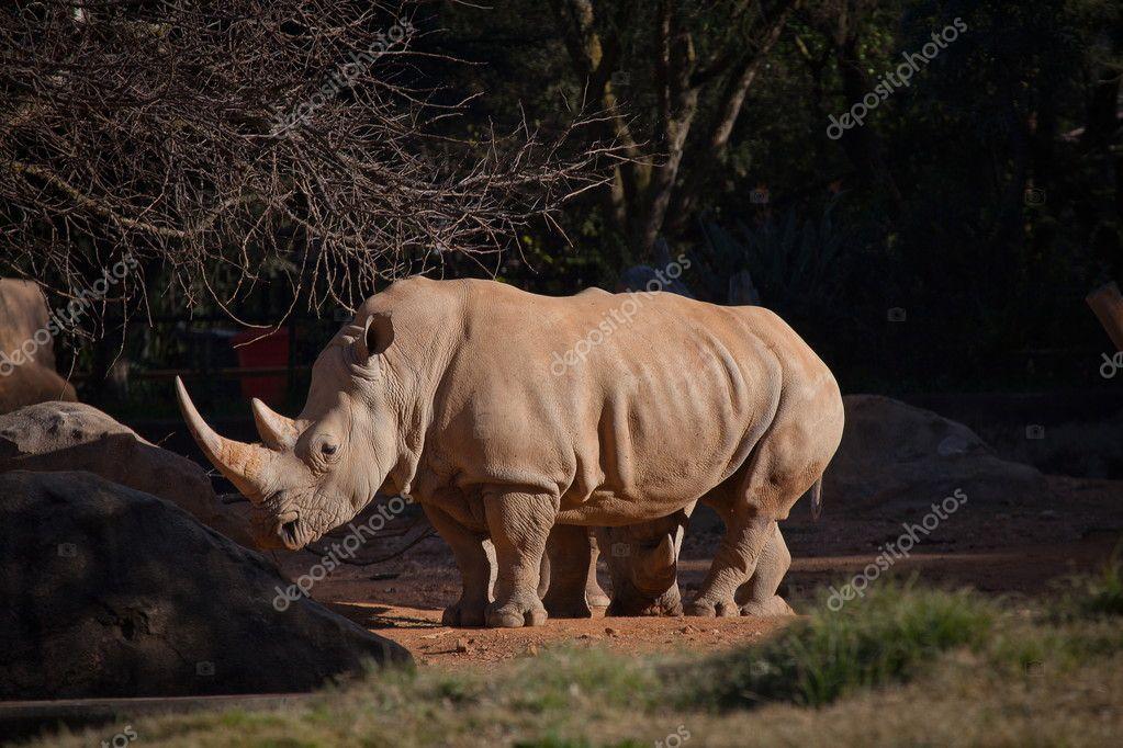 White Rhino in captivity
