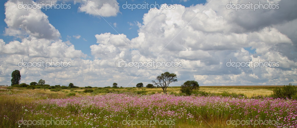 South Africa, Field of Cosmos Flowers