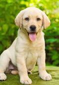 Labradorský retrívr štěně na dvoře