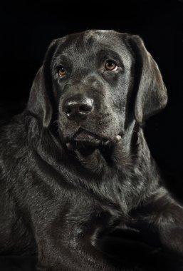 Studio portrait of a black labrador retriever