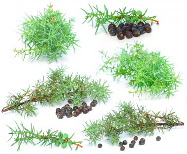 Juniper berry with green branch isolated on white background - s