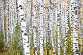 podzimní březový les. říjen