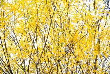 Willow yellow branches, autumn