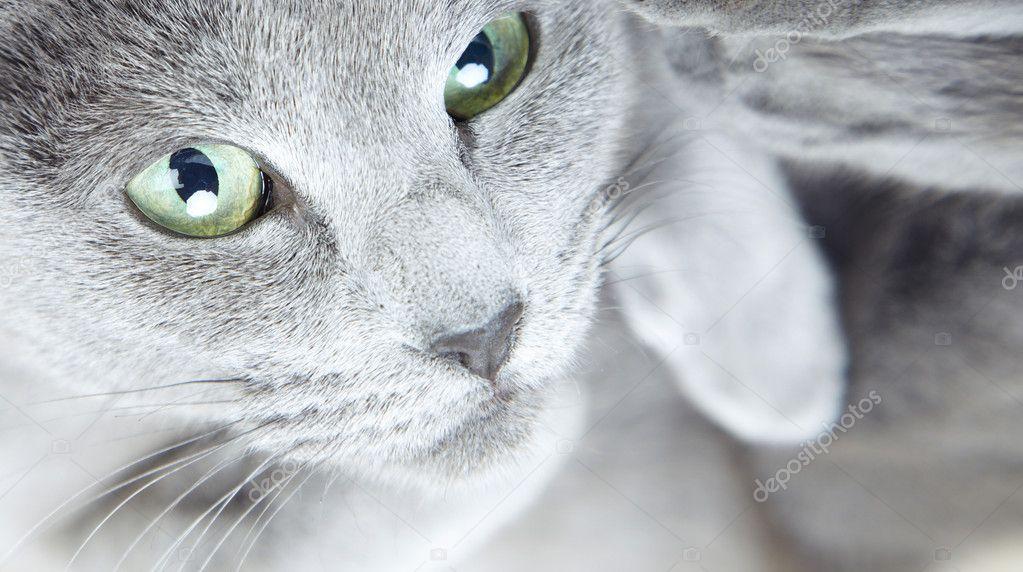 Gray pussy cat