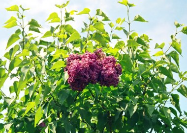 Lilac, Sirena surrounding of green leaves.
