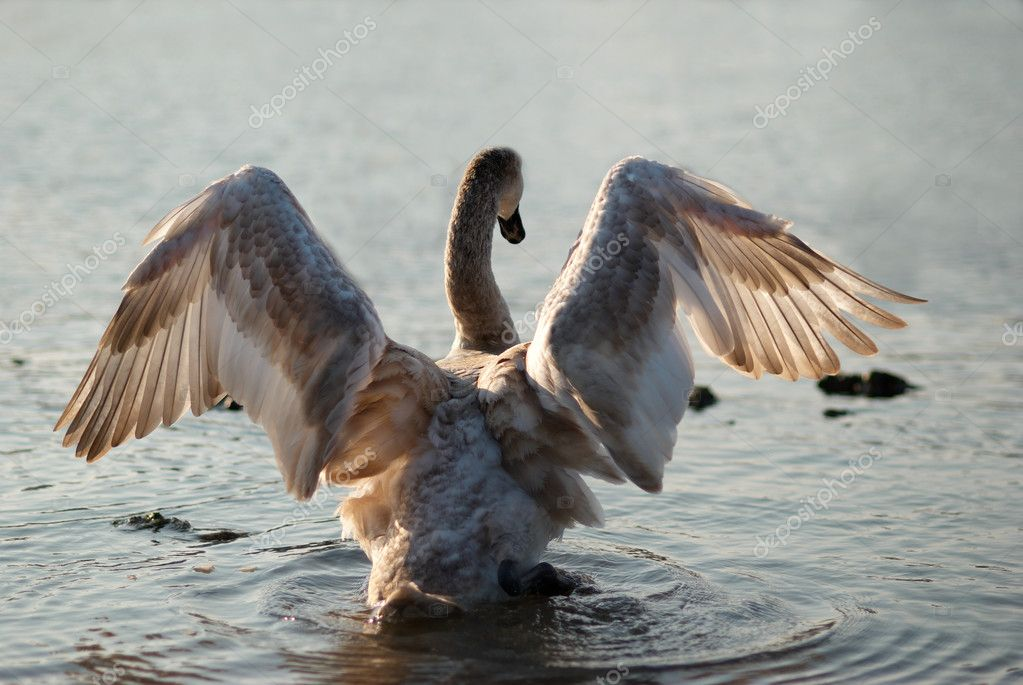 Swan. Cygnus olor.