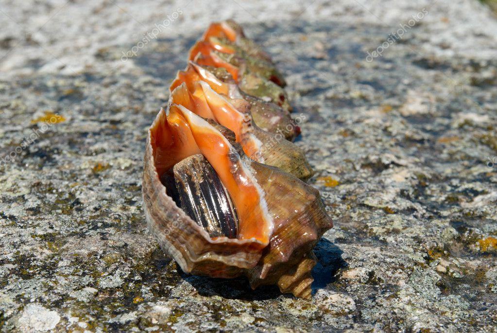 Shells and molluscs of rapana venosa.