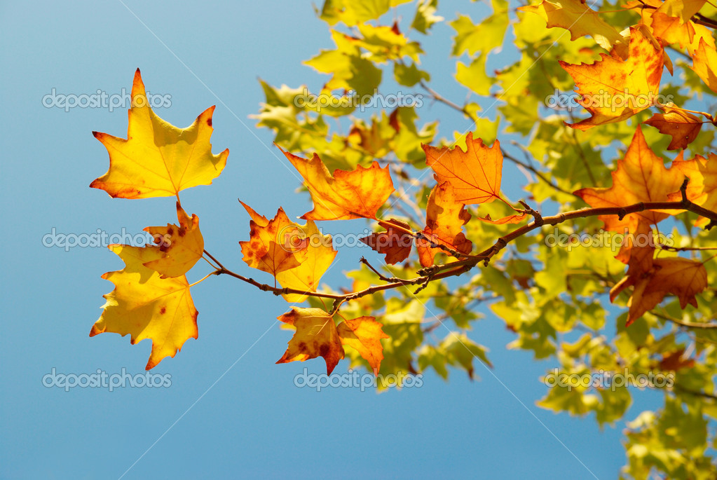 Yellow fall leaves.