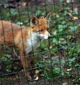 krásná červená liška