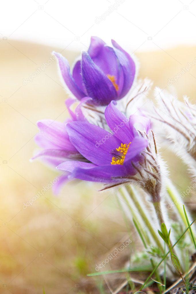 Beautiful purple flowers, dream herb