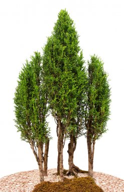 Close-up cypress trees, isolated on white stock vector