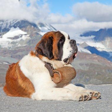 St. Bernard Dog