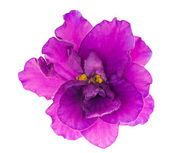 Bright lilac single isolated violet flower