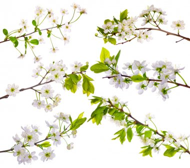 Cherry-tree flowers collection on white