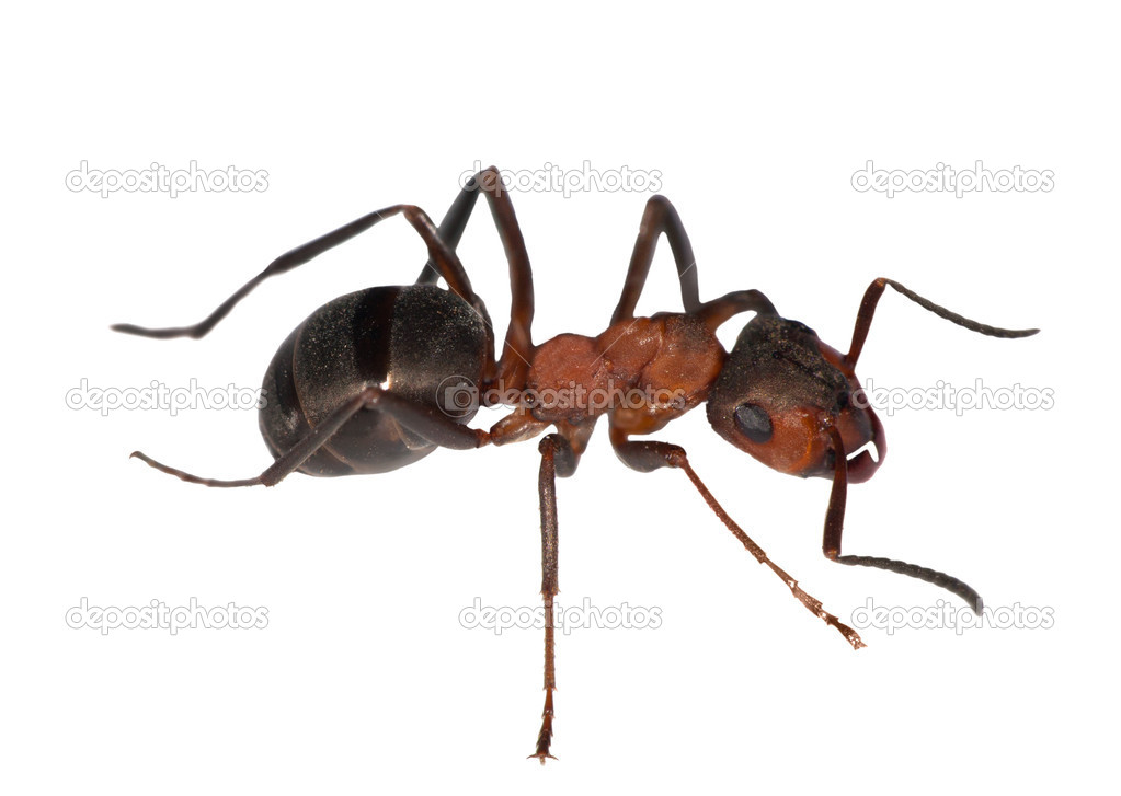 Forest ant right side