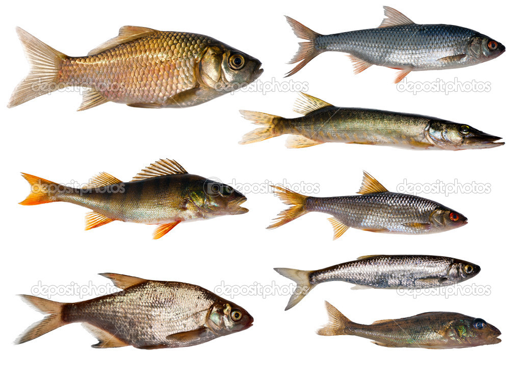 Eight freshwater fishes collection
