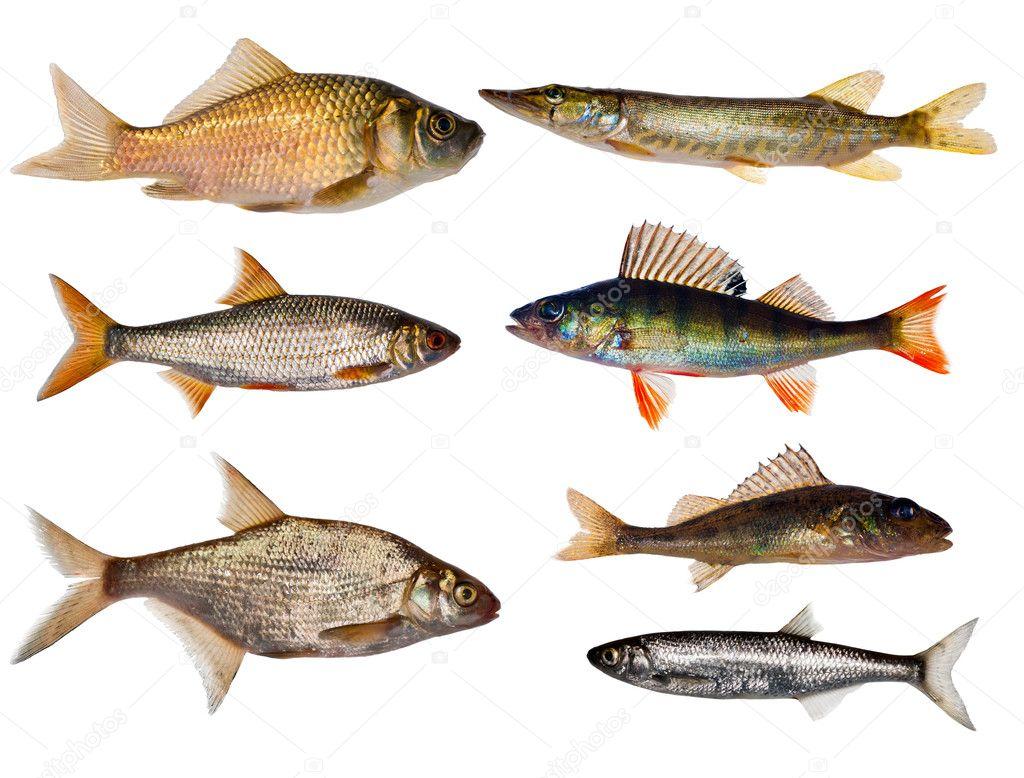 Collezione di sette pesci d 39 acqua dolce foto stock dr for Pesci acqua dolce