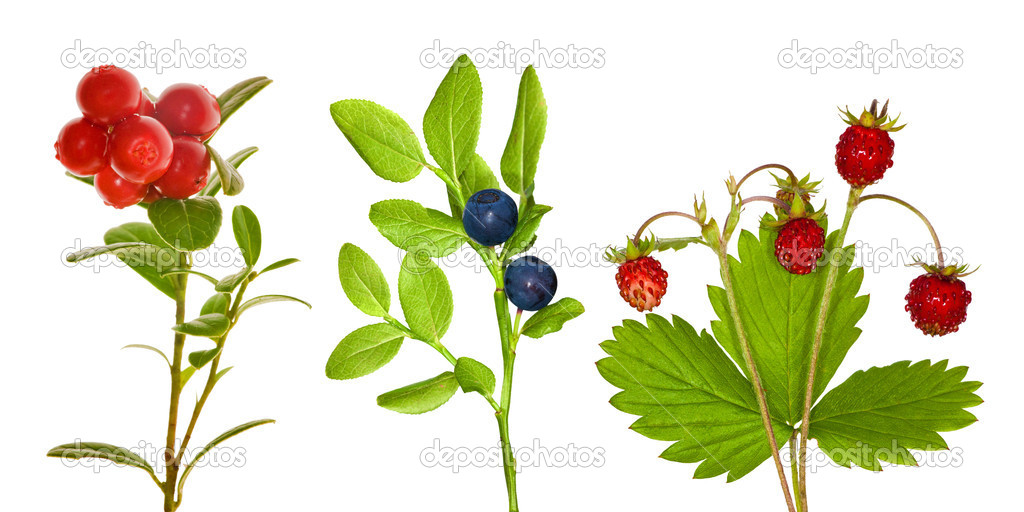Set of forest berry branches