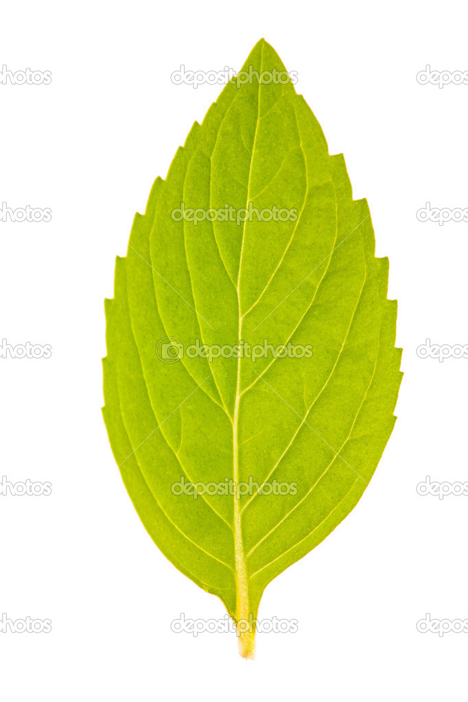 Single isolated mint leaf