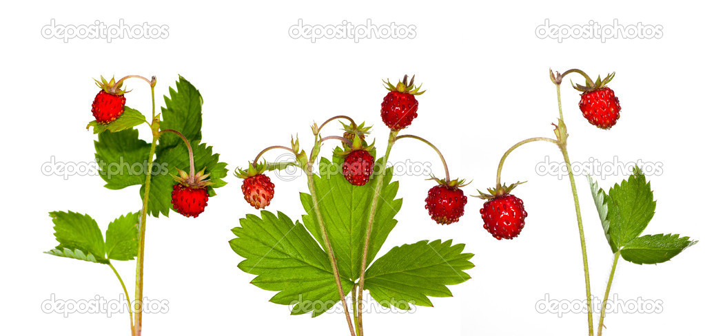 Wild strawberry collection