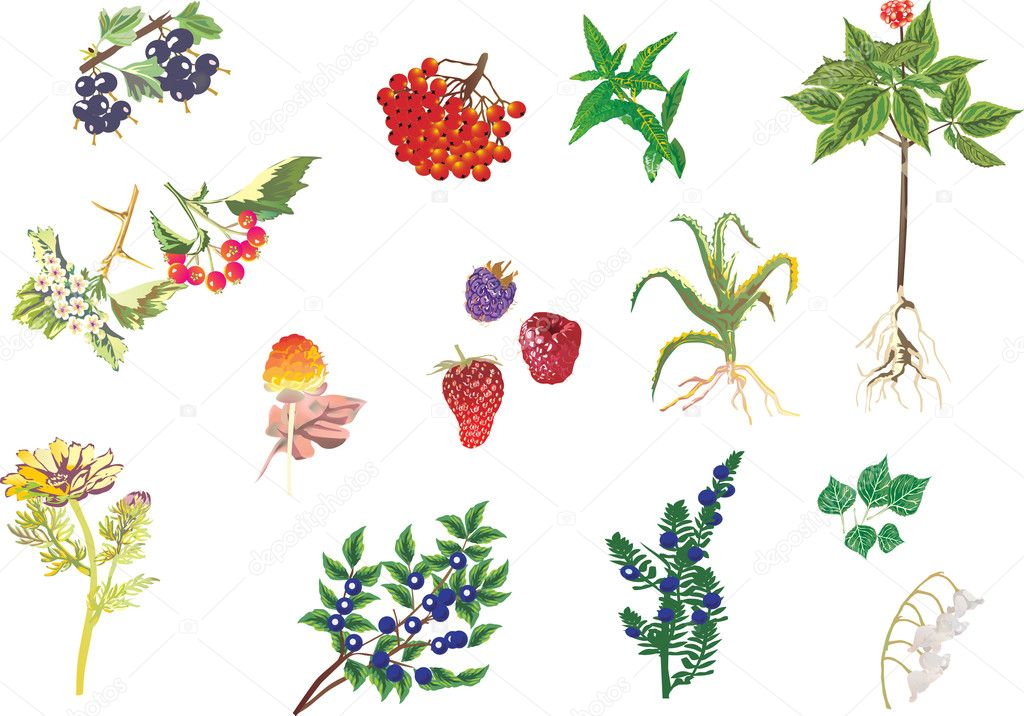 illustration with medicinal plants collection