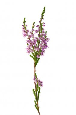 Purple isolated heather branch