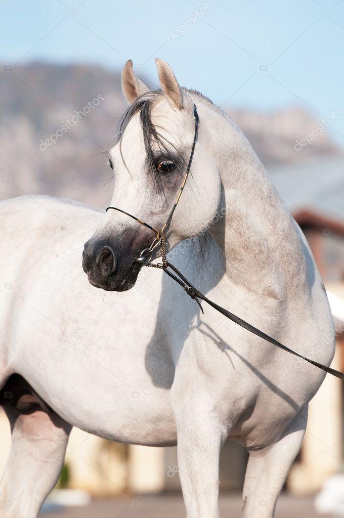 White Arabian Horse Stallion Portrait Stock Photo C Vikarus 7527083