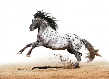Appaloosa horse play in summer