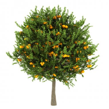 Orange tree isolated on white background