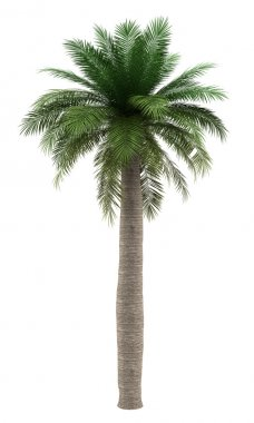 Chilean wine palm tree isolated on white background