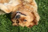 Golden Retriever lying on green grass.