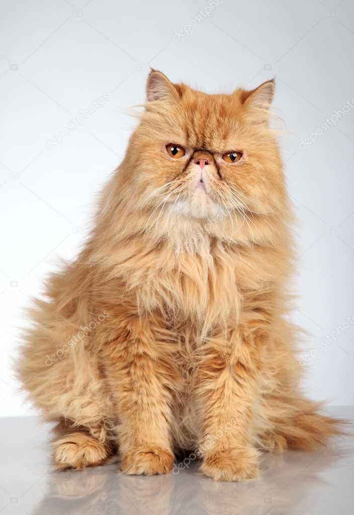 Ginger Persian Cat For Sale