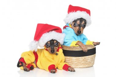 Russian Toy Terrier puppies in winter clothing