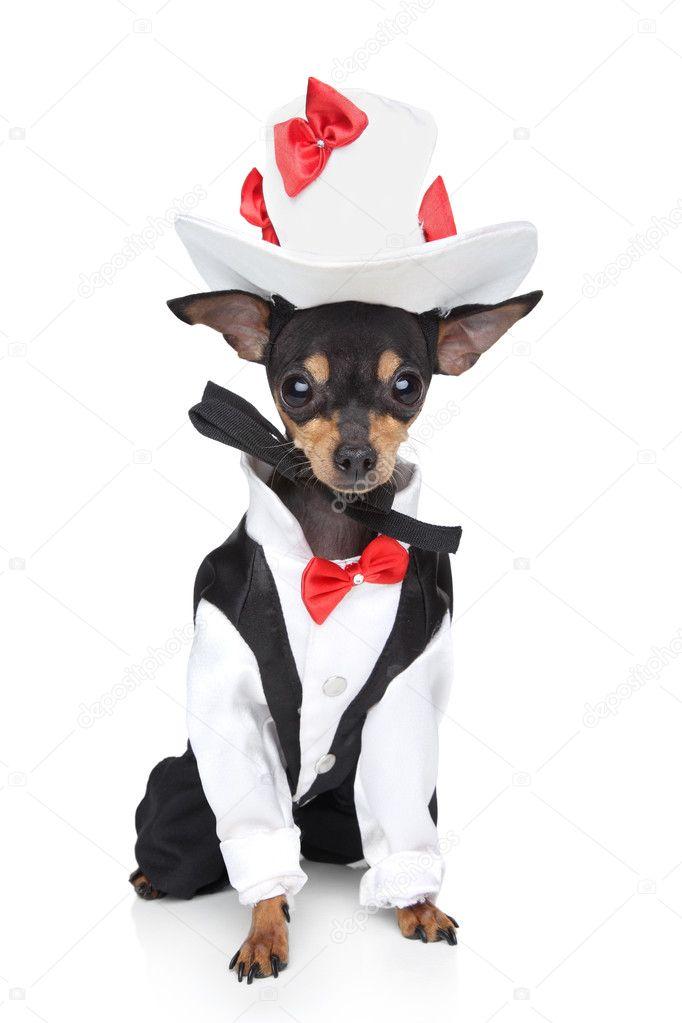 Російський гладкий жорсткошерстна той-Тер єри у смокінг і капелюх на білому  фоні — Фото від FotoJagodka 376f60d5d8846