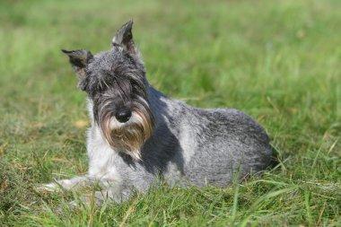 Standard schnauzer (mittelschnauzer) on grass