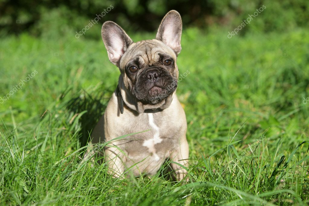 French Bulldog puppy in grass