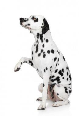 Dalmatian dog gives paw